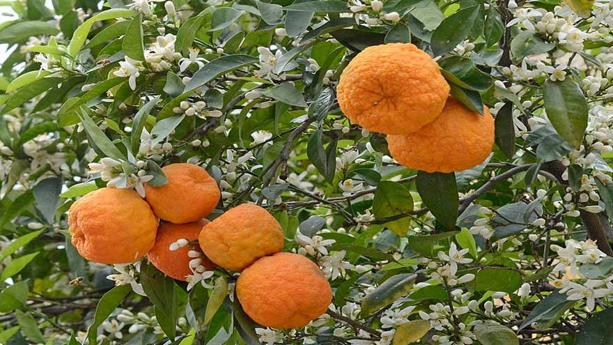 turunc-meyvesinin-faydalari
